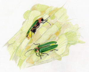 fire fly illustration