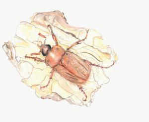 june bug illustration