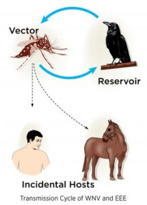 eastern equine encephalitis virus (EEE) and West Nile virus (WNV)
