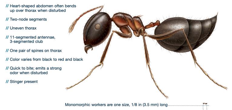 acrobat ant identification