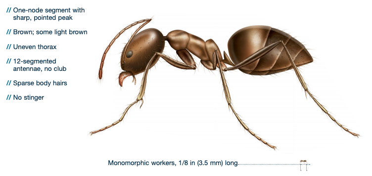 argentine ant identification