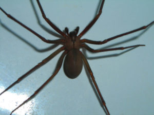 close up of brown recluse