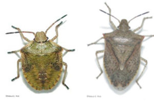 brown-stink-bug-and-nymph