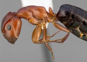 carpenter ant closeup