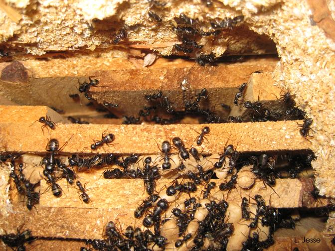 carpenter ants in a nest