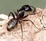 carpenter-ant-thumbnail