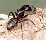 carpenter-ant-thumbnail