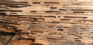 carpenter ant wood damage