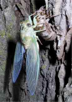 cicada shedding