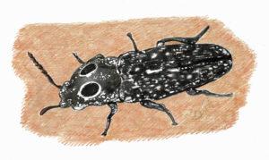 click beetle illustration