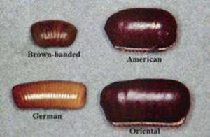 roach eggs