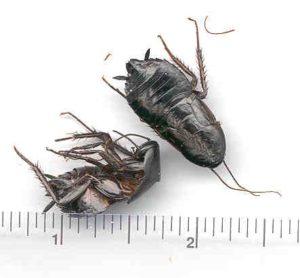 dead oriental roach with ruler