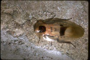deaths head cockroach