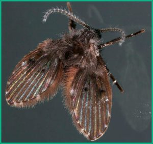 drain fly picture