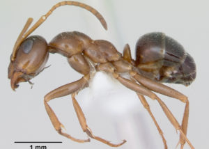 field-ant-closeup