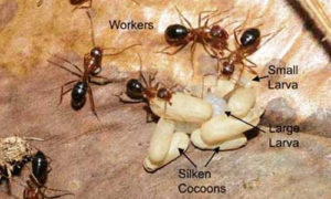 florida carpenter ant w/ larave