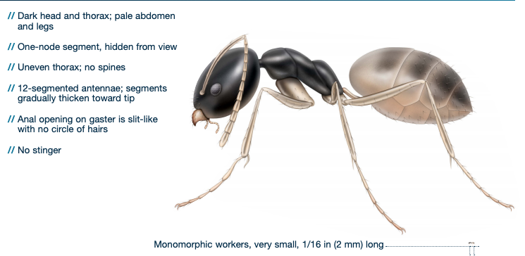 ghost ant identification