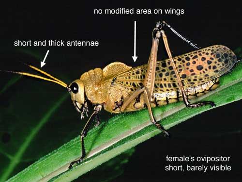 grasshopper identification