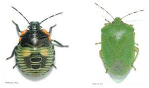 green-stink-bug-nymph