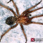hobo spider