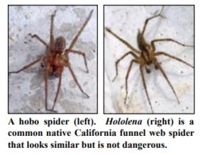 hobo-spider-vs-funnel-web-spider