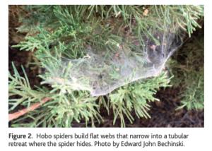 hobo-spider-web