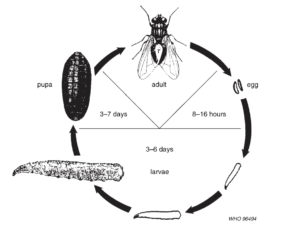life cycle of house flies