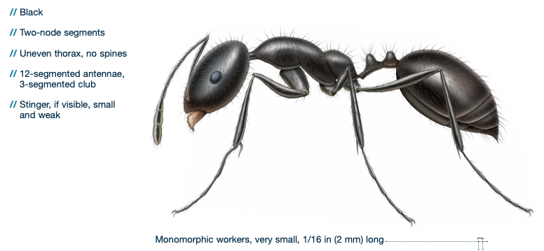 little black ant identification