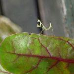 mantis pest control