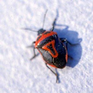 nymph-stink-bug