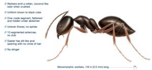 odorous house ant identification