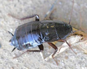 oriental roach outside