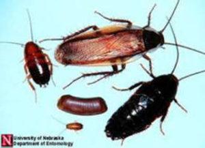 PA woods cockroach