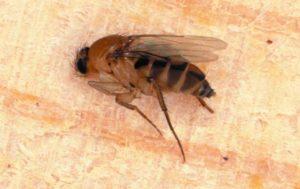 phorid fly or humpbacked fly
