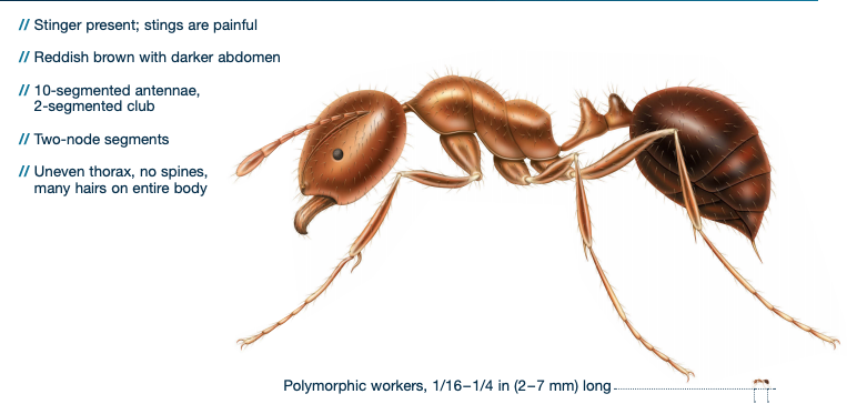 fire ant identification