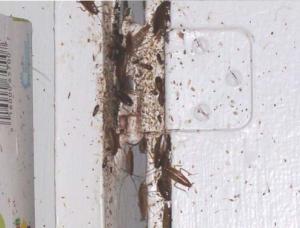 roaches & feces