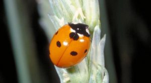 7 spotted lady beetle