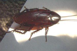 smokeybrown roach