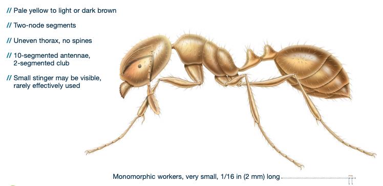 thief ant identification